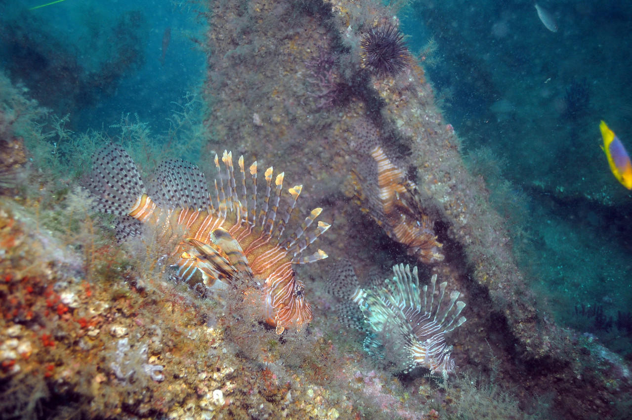 Lion Fish off the coast of Moorehead City, NC - August 2008