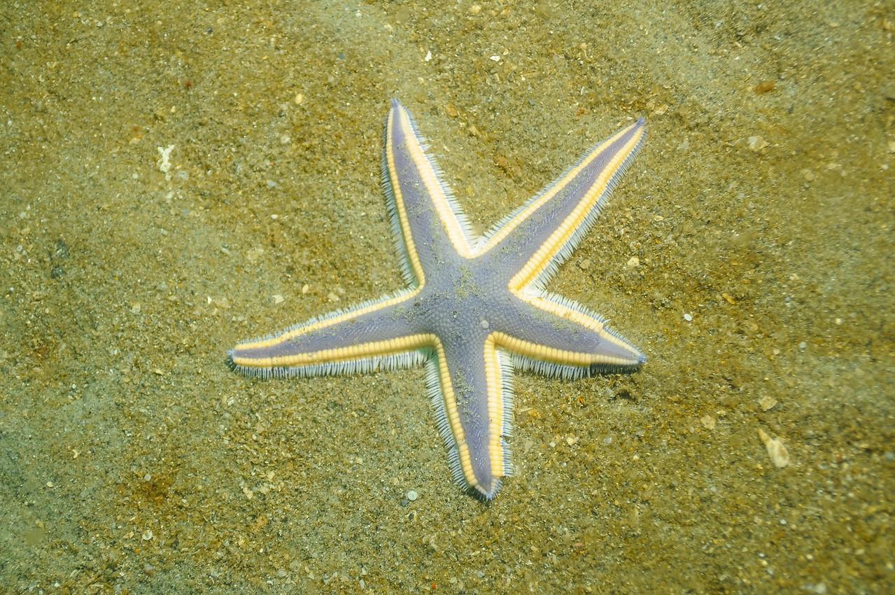Royal Sea Star (Asteroidea) off coast of NC, August 2008