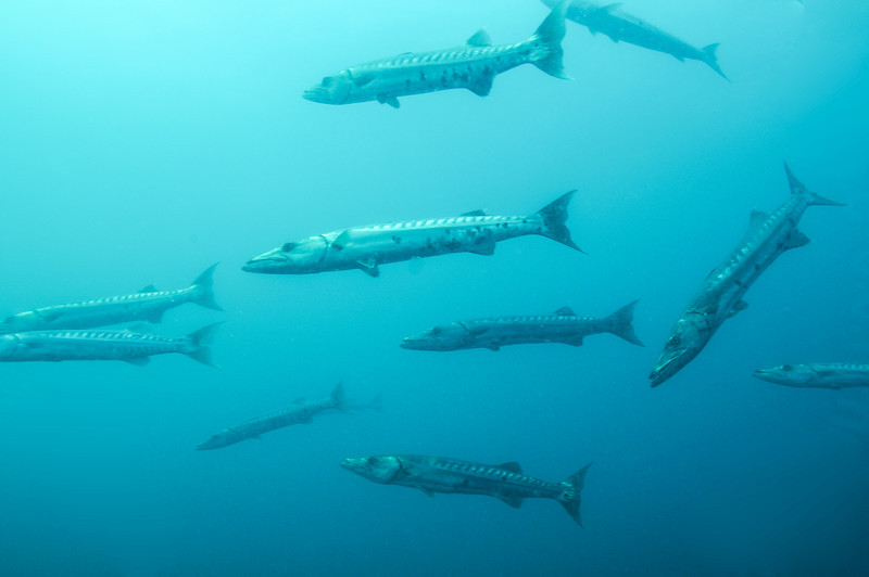 School of Great Barracudas near USS Spar - August 2008