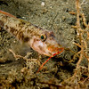 Gobi with Squat Lobster