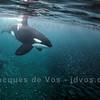 Orca Bull Herding Herring