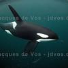 Large Orca Bull Passing Close