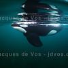 Orca Bull Coming Close