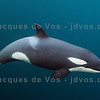 Few Weeks Old Orca Calf