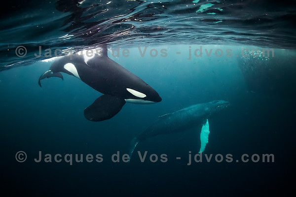 Orca and Humpback Whale
