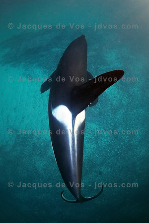 Large Orca Male Top Down