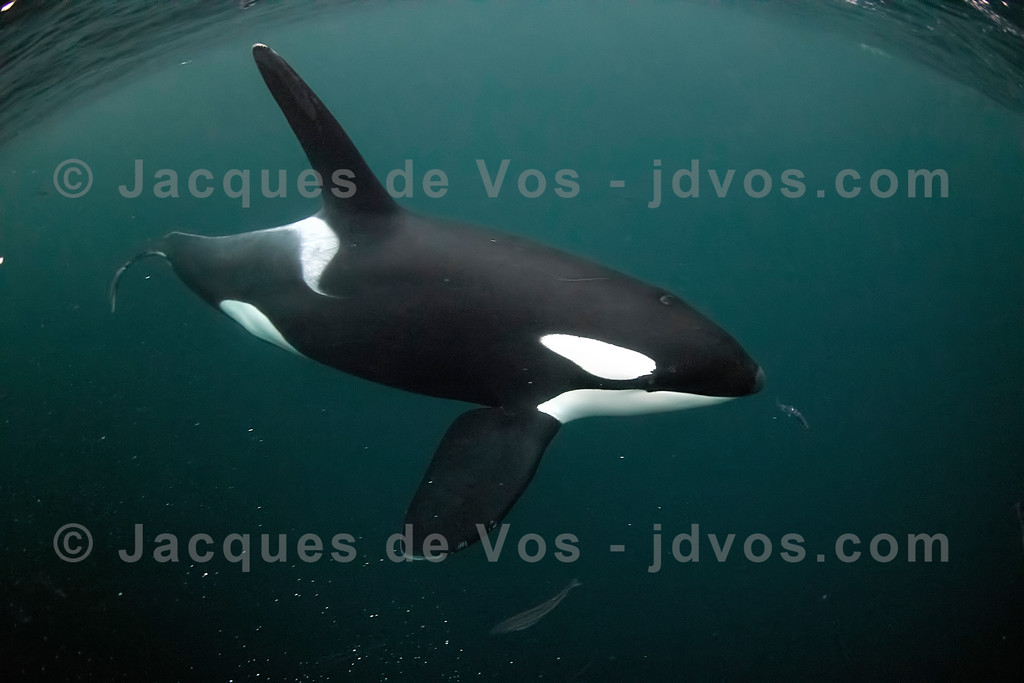 Large Orca Bull Passing Close