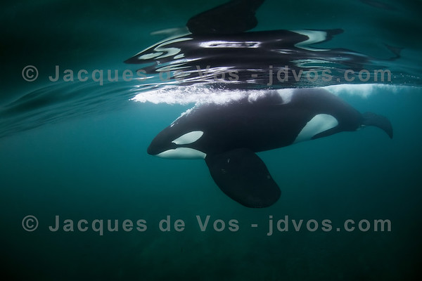 Orca Bull Taking A Breath