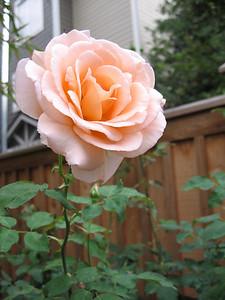 did i mention the rosebushes?