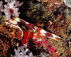 Nudibranch Nembrotha rutilans<br /> Lembeh Straights, North Sulawesi