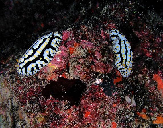 Varicose Phyllidia Nudibranch (scrambled egg)<br /> Phyllidia varicosa<br /> Kona Coast of the Big Island