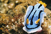 Chromodoris lochi?