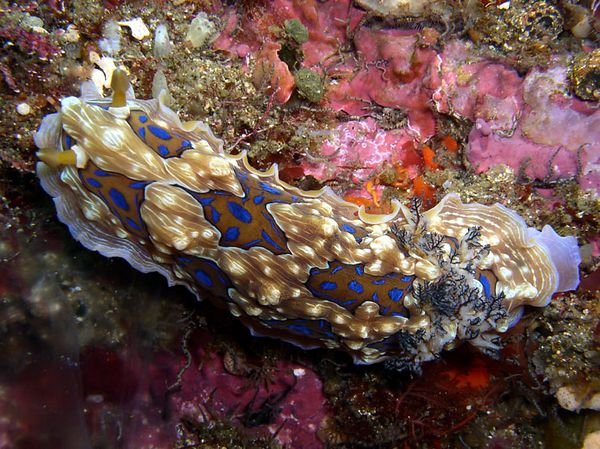 Gem nudibranch (Poor Knights, New Zealand)