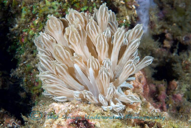 Anilao<br /> Phyllodesmium rudmani
