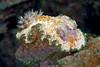 Anilao<br /> Glossodoris cincta