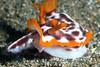 Anilao<br /> Hypselodoris purpureomaculosa
