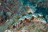 Ceratosoma sinuatum<br /> GBR Australia
