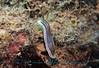 Chromodoris colemani<br /> GBR Australia
