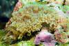 Anilao<br /> Marionia arborescens