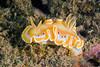 Glossodoris cruenta<br /> GBR Australia