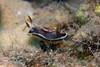 Chromodoris burni<br /> GBR Australia