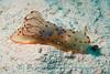 Gymnodoris ceylonica <br /> Kaviang PNG