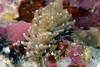Anilao<br /> Phyllodesmium crypticum