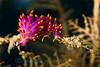Trinchesia sibogae<br /> Great Barrier Reef
