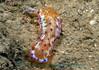 Hexabranchus sanguineus - Spanish Dancer Juvenile<br /> GBR Ausatralia