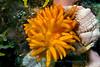 Anilao<br /> Phestilla melanobrachia– Feeds exclusively on dendrophllid corals