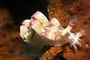 Anilao<br /> Marionia elongoreticula