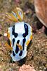 Anilao<br /> Chromodoris dianae