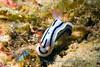 Chromodoris lochi<br /> GBR Australia