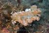 Marionia olivacea<br /> GBR Australia