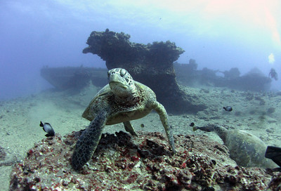 Turtle in front of Baby Barge, Hawaii Kai