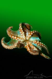 Giant Pacific Octopus - Three Tree North in Burien, Washington