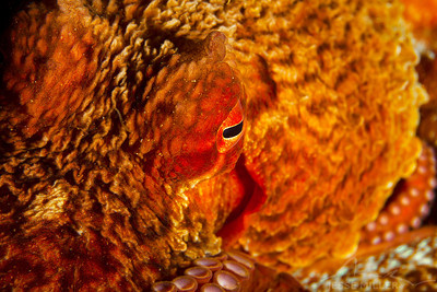 Giant Pacific Octopus - Day Island Wall on Day Island, Washington