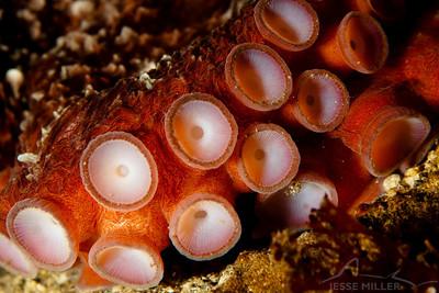 Giant Pacific Octopus - DIW on Day Island, Washington