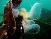 Hooded nudibranchs