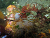 White spotted Greenling nest