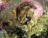 Grunt sculpin protecting eggs in a giant barnacle shell