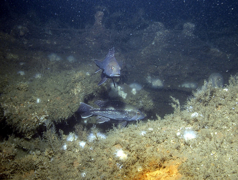 Black sea bass.