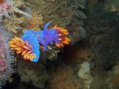 Spanish Shawl taken at Peacock Wreck, North side of Santa Cruz Island, Channel Islands Marine Sanctuary CA