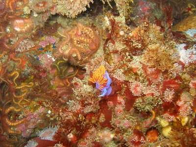 A bright  Spanish Shawl amongst the Brittle Stars taken on a Deep Pinnacle on the south side of Anacapa Island,CA