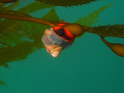 Norris's Top Snail on Giant Kelp with a few Slipper Limpets hitching a ride, Tajigas, CA