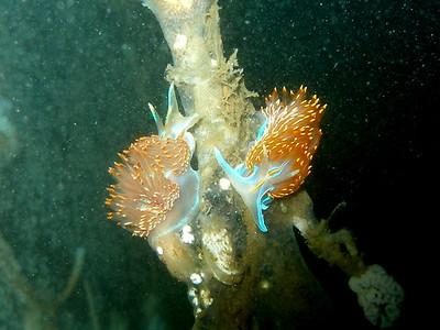 Hermissenda Nudibranch here on coastal Santa Barbara CA
