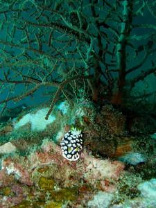 Nudibranch taken whilst Diving near Kho Tao, Thailand