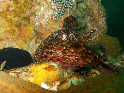 Californian Sea Hare on reef north side of Santa Cruz Island, CA