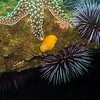 Salted Yellow Dorid on the reef edge amongst Seastars and Purple Urchins, Tajiguas CA