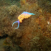 Spanish Shawl Nudibranch on Brown Algae, Santa Cruz Island, Channel Island Marine Sanctuary, CA